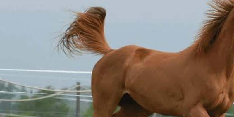 Cavalo na pista morre atropelado por ambulância na região
